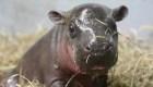 Los primeros nados de una pequeña hipopótamo pigmeo