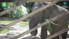 Polonia: elefantes serán tratados con cannabis para combatir estrés