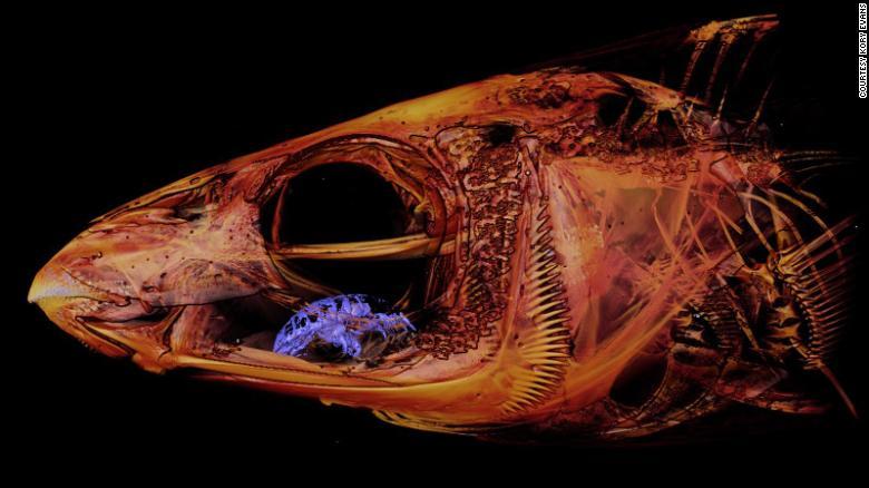 Un científico encontró un parásito comelenguas en la boca de un pez