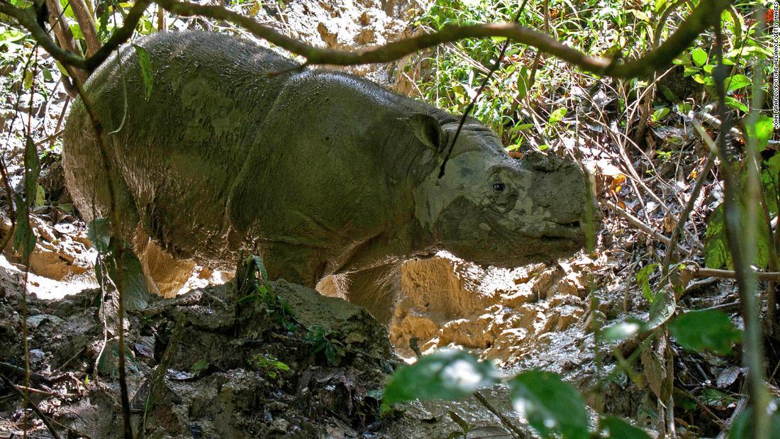 Todos los rinocerontes de Sumatra han muerto en Malasia. Los científicos quieren recuperarlos con tecnología de clonación