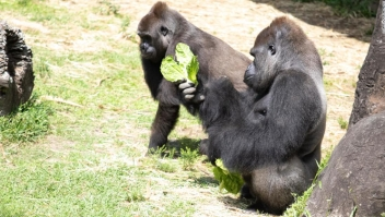 gorila-baby-shower