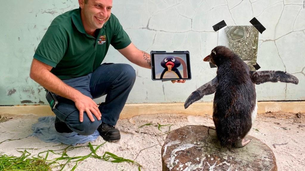 Pingüino que ve la televisión en Australia