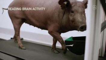 Elon Musk muestra su chip cerebral usando un cerdo