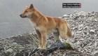 Reaparecen perros cantores que se creían extintos