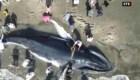 Rescatan a ballena jorobada varada en costas de Ecuador