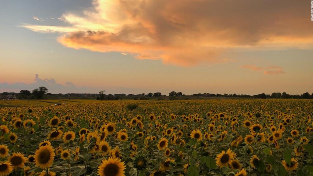 """Agricultor cultiva """"felicidad"""" en forma de girasoles"""