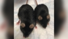 ¿Por qué utilizan ratones hembra en los experimentos de la NASA?