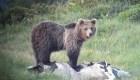 "Capturan al oso ""escapista"" en Italia"