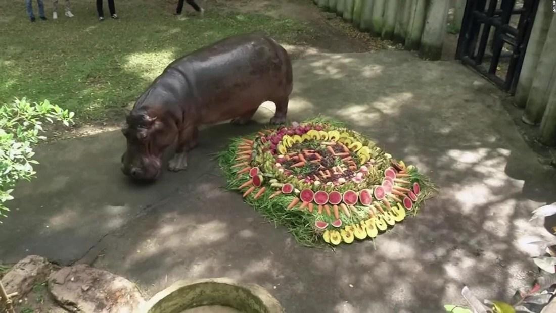 Una abuela hipopótamo celebra su cumpleaños número 55