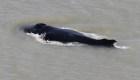 Mira cómo esta ballena salió de un río lleno de cocodrilos