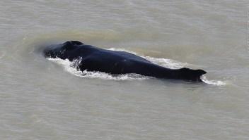 Enorme ballena ingresa a un río lleno de cocodrilos