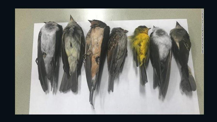 Mueren extrañamente cientos de miles de pájaros