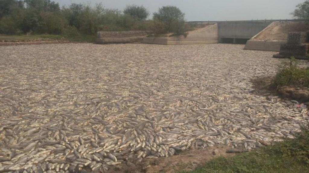 Argentina: impactantes imágenes de peces muertos