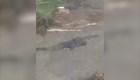 Encontraron un enorme cocodrilo en el patio de su casa