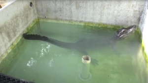 Científicos logran reconocimiento por experimento con caimán