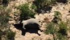 Creen que más de 300 elefantes murieron por cianobacterias