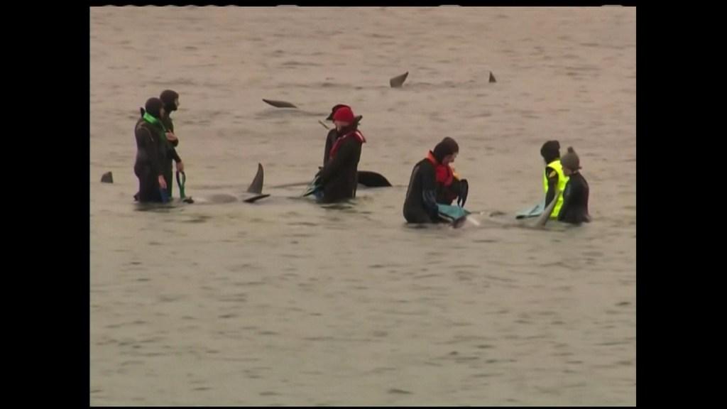 Intentan salvar a unas 180 ballenas varadas en Australia