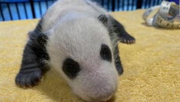 Este zoológico presenta a su nueva cría de panda