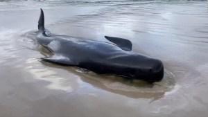 Mueren 380 ballenas encalladas en Australia