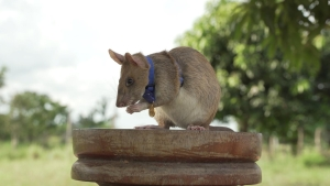 Premian a una rata por salvar vidas