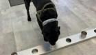 Estos perros se entrenan para detectar casos de covid-19