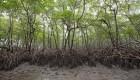Frenan plan que desprotegía los manglares en Brasil