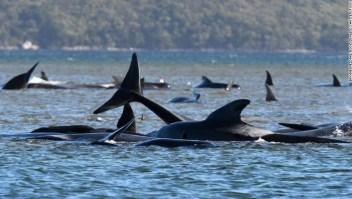 ballenas varadas australia encalladas