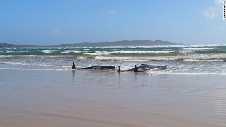 ballenas varadas australia encalladas2