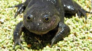 rana-fantasma-desierto