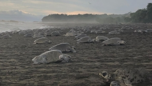 Tortugas en el refugio Ostional costa rica