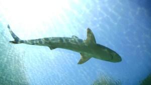 Australia: más ataques letales de tiburones contra humanos