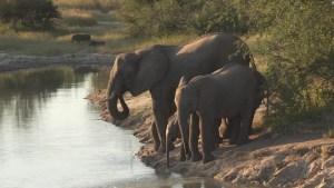 África: ¿qué causa las misteriosas muertes de elefantes?