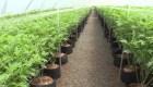 El cannabis en Uruguay ya es una referencia mundial