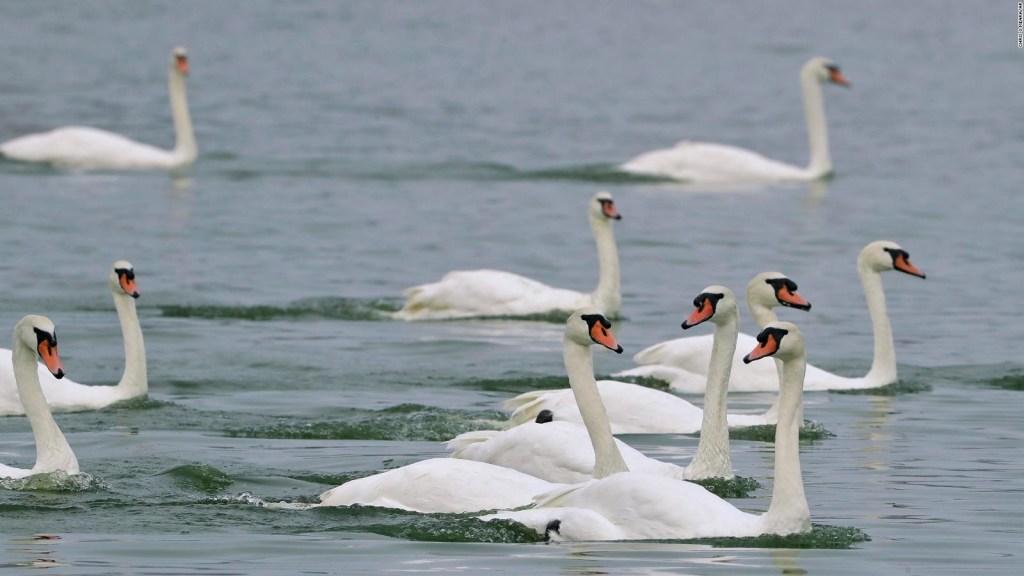 Esta ciudad en Florida está vendiendo decenas de cisnes