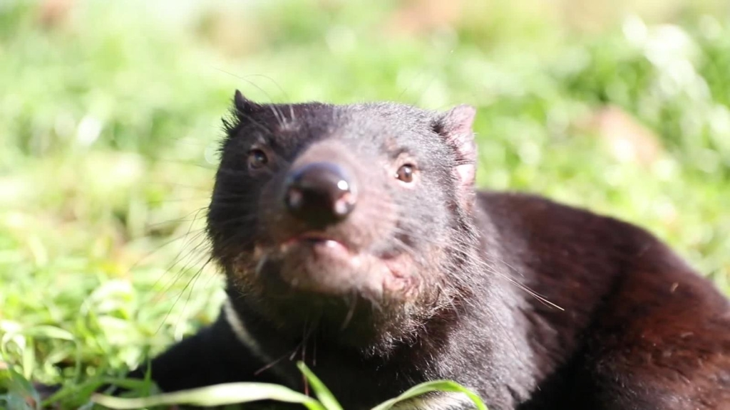 Demonio de Tasmania regresa a Australia tras miles de años