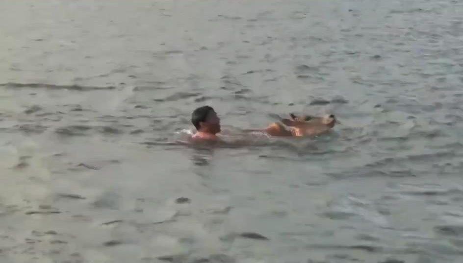 Hombre se lanza al rescate de un ternero que cayó al mar