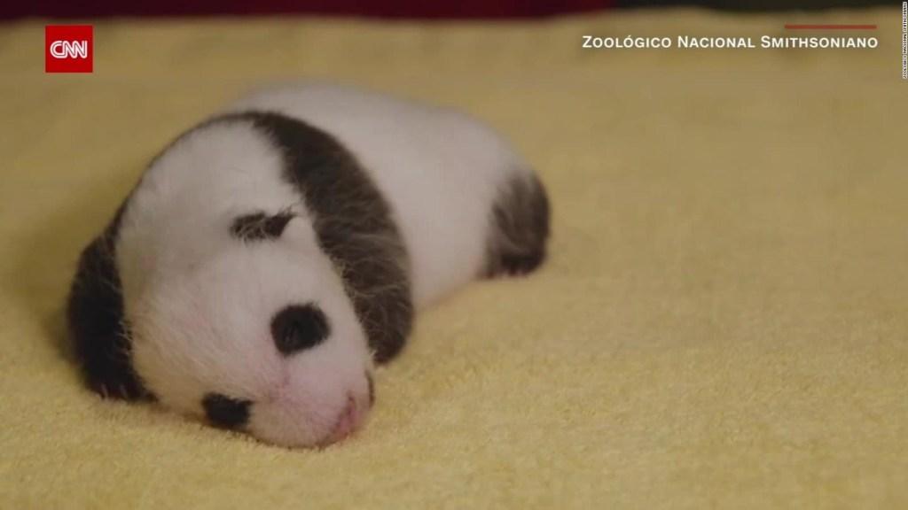 Mira la revelación de género de este panda gigante