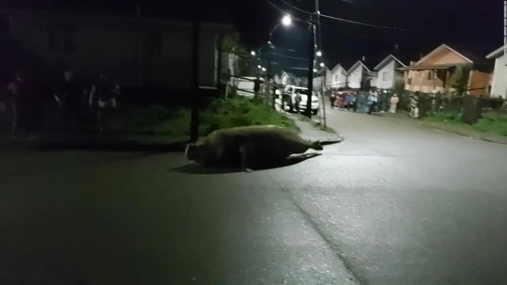 Elefante marino 'pasea' por las calles de una ciudad chilena