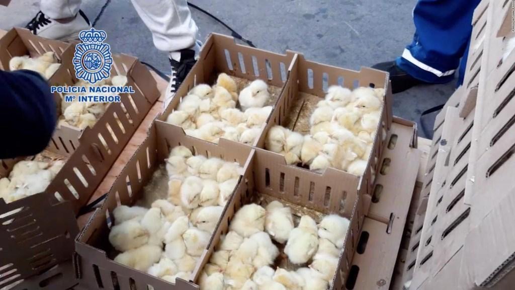 Miles de pollitos mueren en el aeropuerto de Madrid