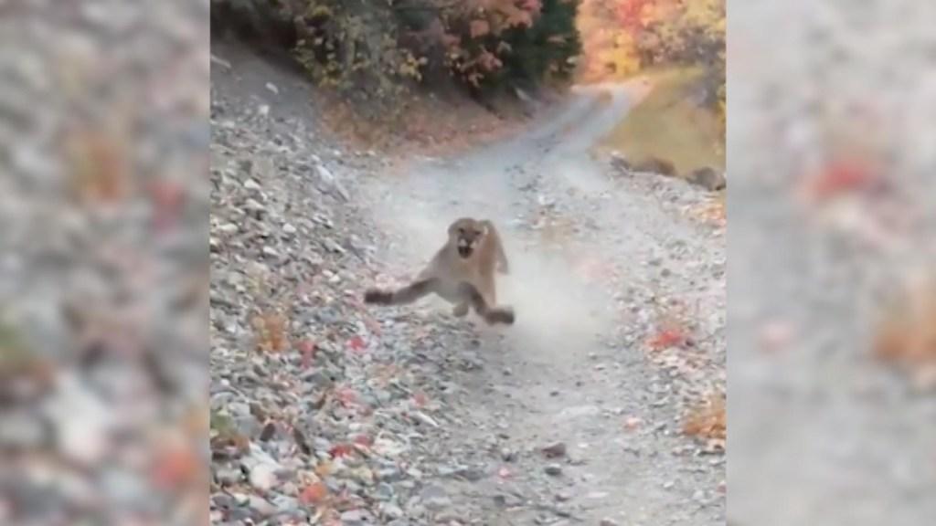 Un puma acecha y persigue a un hombre en Utah