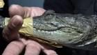 Abandonan a cocodrilo en la puerta de una casa