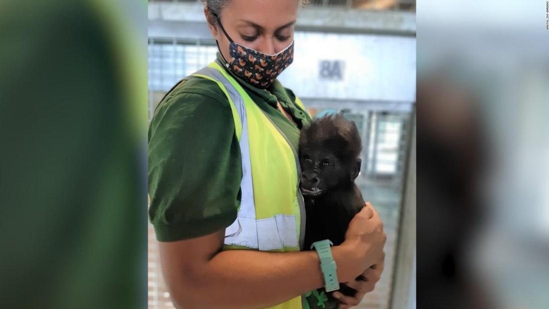 Cuidadores de un zoológico ayudan a este bebé gorila