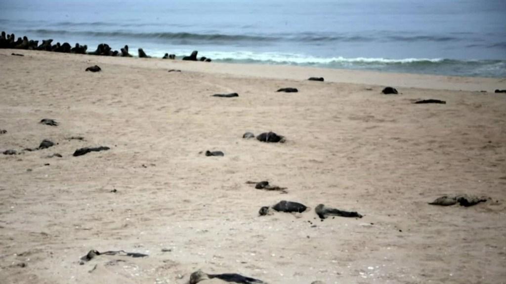 Hallan más de 7.000 focas muertas en playa de Namibia