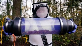 """Este es el primer nido de """"avispones asesinos"""" en EE.UU."""