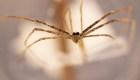 Descubren que estas arañas pueden oír con sus patas