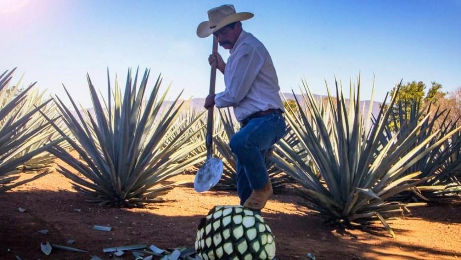 El agave, la planta del tequila, se da en la ciudad del mismo nombre en Jalisco