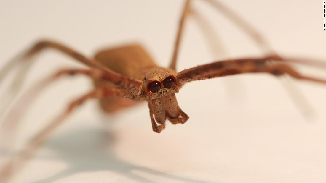 Estas arañas no tienen oídos. Pero pueden escucharte, dice un estudio