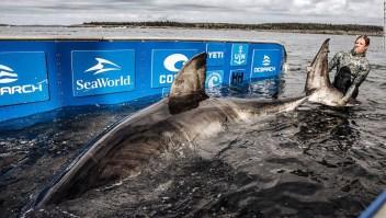 tiburón-blanco-enorme