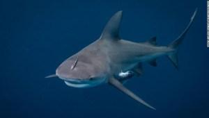 tiburón embarazada ataque