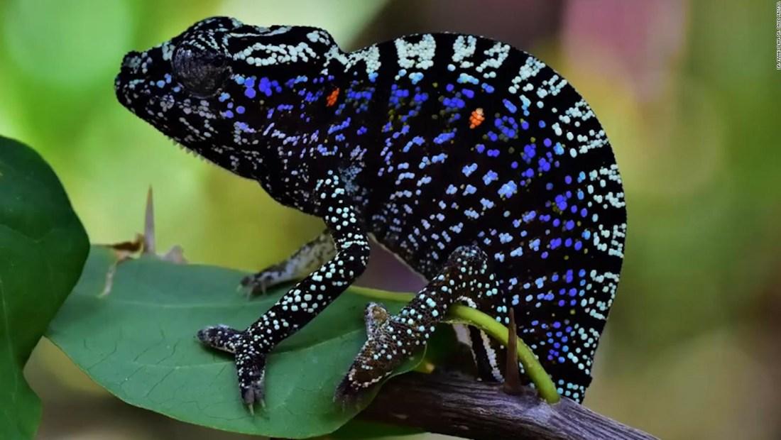 Redescubren especie perdida de camaleón